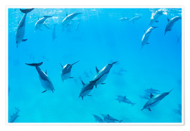 Premium poster Dolphins under water