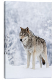 Canvas print  Tundra Wolf in snow - Doug Lindstrand