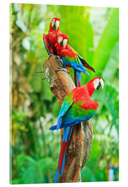 Acrylglas print  Group of dark red macaws