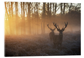 Acrylglas print  Two deers in Richmond Park, London - Alex Saberi