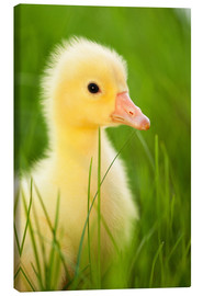 Canvas print  Duckling