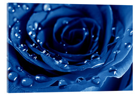 Acrylglas print  Blue Roses with Water Drops