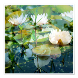 Premium poster Montage of white water lilies