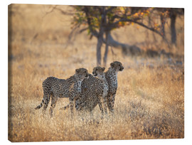 Canvas print  Cheetah group on the hunt - Alex Saberi