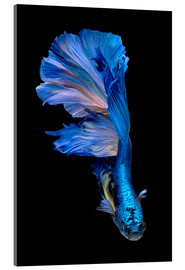 Acrylglas print  magnificent blue fish