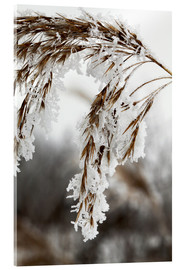 Acrylglas print  Cereal stalk covered with frost
