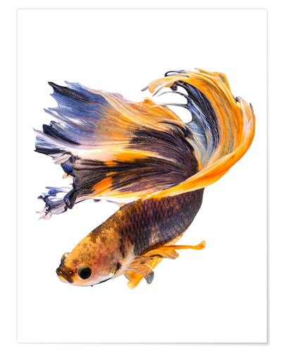 Premium poster Campfish orange and blue