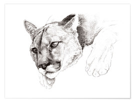 Premium poster Sketch Of A Captived Mountain Lion