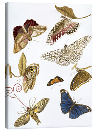 Canvas print  Moths and butterfiles - Maria Sibylla Merian