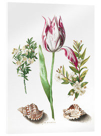 Acrylglas print  Tulip with two myrtle branches and two shells - Maria Sibylla Merian