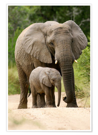 Premium poster Mother and calf