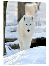 Acrylglas print  Beautiful white wolf in the winter