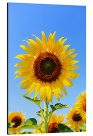 Aluminium print  Radiant sunflower