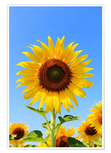 Premium poster Radiant sunflower
