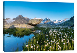 Canvas print  Blooming of cotton grass at feet of Piz Bernina, Switzerland - Roberto Sysa Moiola
