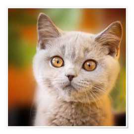 Premium poster British shorthair kitten portrait