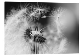 Acrylglas print  Flying seeds of the dandelion - Julia Delgado