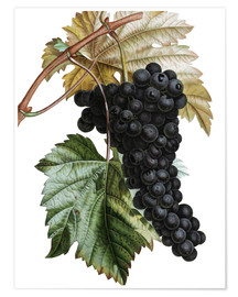Premium poster Grape Muscat Noir