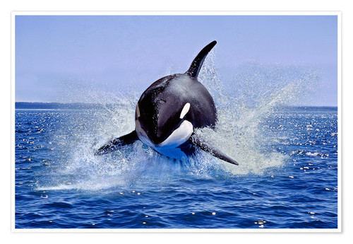Premium poster Jump of the orca