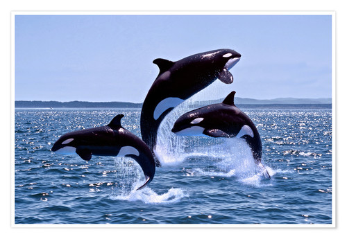 Premium poster Jumping Orcas
