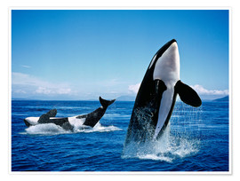 Premium poster Performance of the killer whales