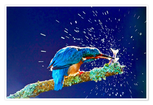 Premium poster Common Kingfisher stunning fish against branch