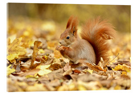 Acrylglas print  Red Squirrel in an urban park in autumn