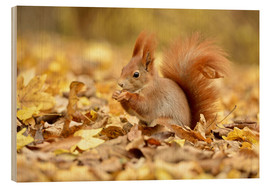 Hout print  Red Squirrel in an urban park in autumn