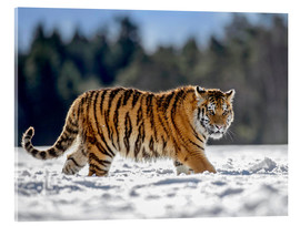 Acrylglas print  Siberian tiger in deep snow