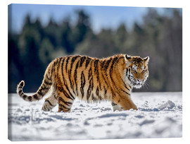 Canvas print  Siberian tiger in deep snow