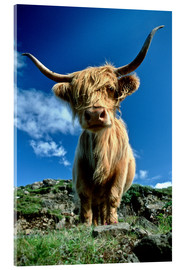 Acrylglas print  Scottish highland cattle - Duncan Usher