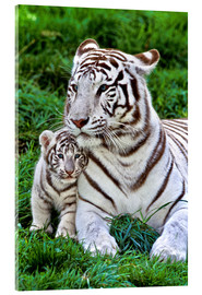 Acrylglas print  White tiger mother with child - Gérard Lacz