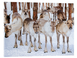 Acrylglas print  Reindeer in winter in Lapland