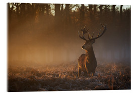 Acrylglas print  Stag in autumn sunrise - Alex Saberi