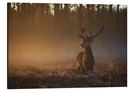 Aluminium print  Stag in autumn sunrise - Alex Saberi