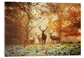 Acrylglas print  Stags and deer in an autumn forest with mist - Alex Saberi