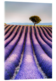 Acrylglas print  Tree in a lavender field, Provence - Matteo Colombo