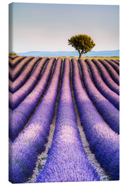Canvas print  Tree in a lavender field, Provence - Matteo Colombo