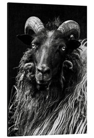 Aluminium print  Heidschnucken Sheep - Martina Cross