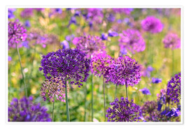 Premium poster purple allium