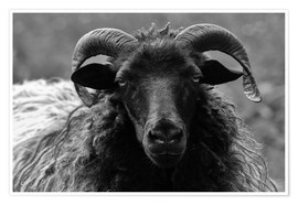 Premium poster  Grey Heidschnucke - Sheep - Martina Cross