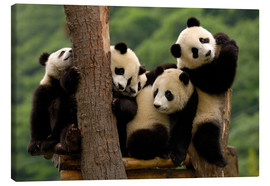 Canvas print  Giant Panda babies in Wolong China