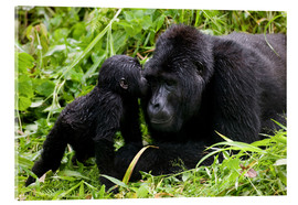 Acrylglas print  Infant mountain gorilla with mother