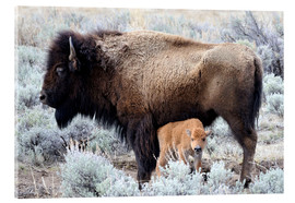 Acrylglas print  Bison cow with calf