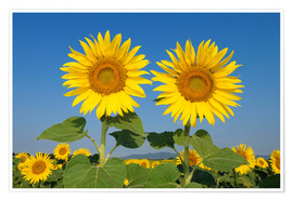 Premium poster Two sunflowers