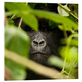 Acrylglas print  A silverback gorilla in the undergrowth - John Warburton-Lee