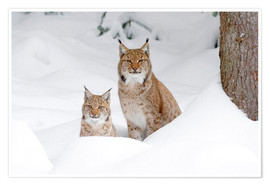 Premium poster Lynx in the snow