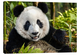Canvas print  Portrait of a Chengdu panda - Jim Zuckerman