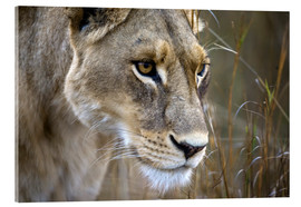 Acrylglas print  Lioness in the grass - Janet Muir