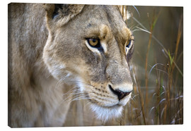 Canvas print  Lioness in the grass - Janet Muir
